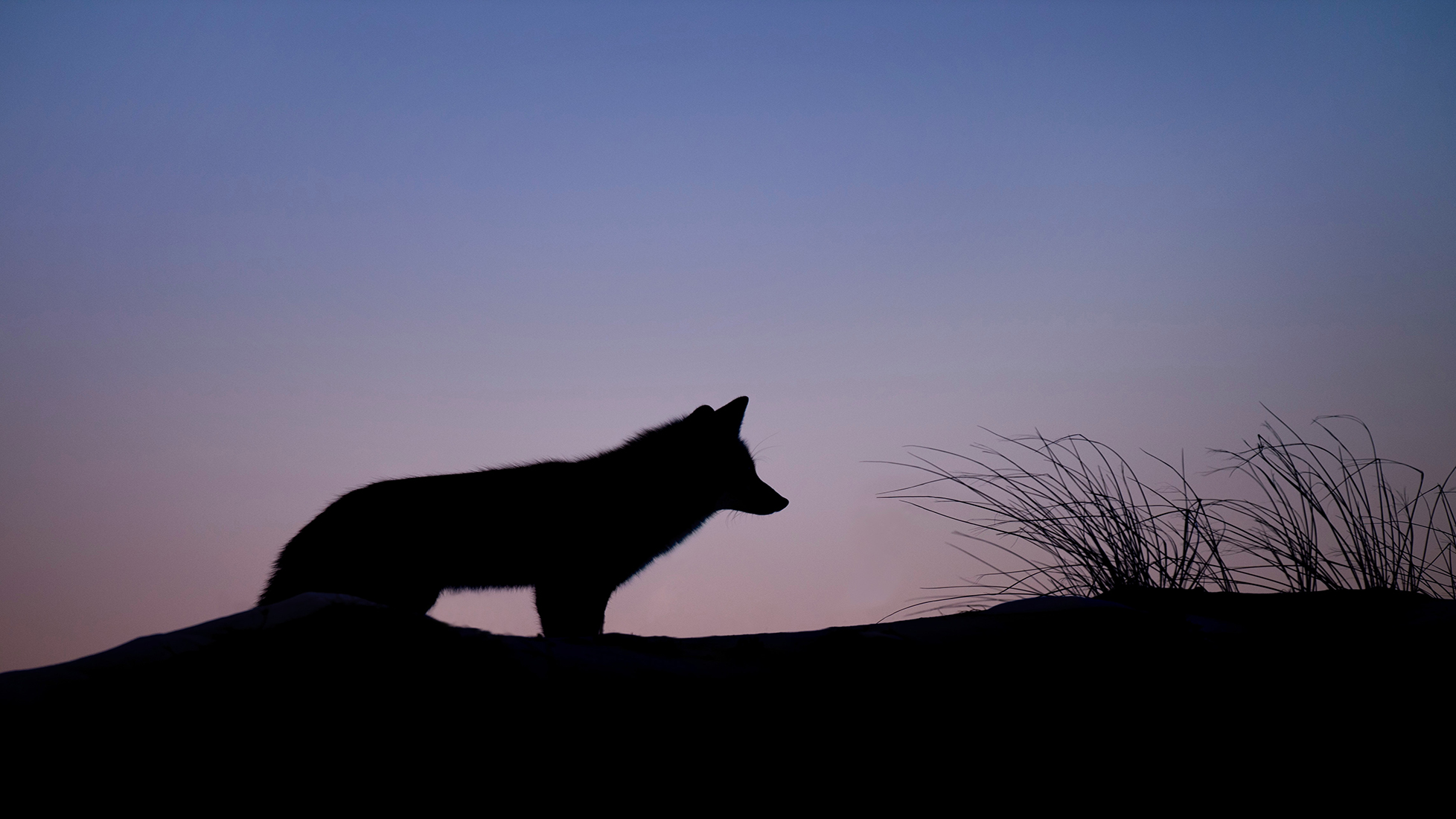The Coyote featured image